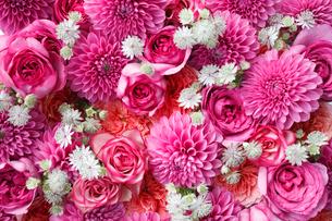 一面の濃いピンクのダリアとバラの花の写真素材 [FYI01476769]