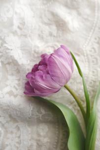 細かな刺繍をほどこした布とレースの上に置かれた紫色のチューリップの写真素材 [FYI01476929]