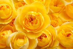 一面の黄色バラの花の写真素材 [FYI01476933]