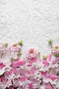 繊細なレースの上のピンクのスイートピーとスカピオサの花の写真素材 [FYI01476983]