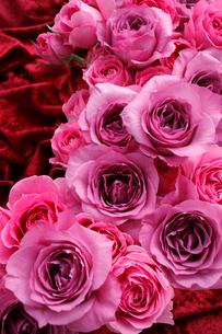 赤いベルベットの布の上の大輪のバラのアレンジメントの写真素材 [FYI01477128]