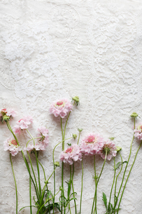 繊細なレースの上に並んでいるピンクのスカピオサの花の写真素材 [FYI01477648]