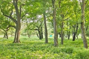 小金井公園のトウカエデの森の写真素材 [FYI01479055]