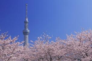サクラ咲く隅田公園からスカイツリーの写真素材 [FYI01479063]