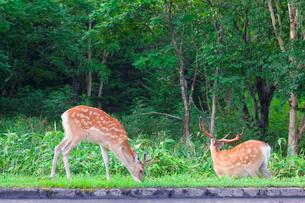 草を食むエゾシカの写真素材 [FYI01479113]