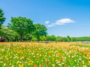 昭和記念公園のポピー畑の写真素材 [FYI01480222]
