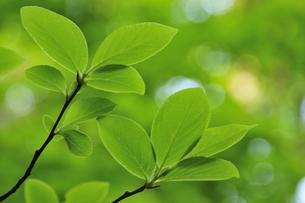 新緑の葉 奥大山の写真素材 [FYI01480774]