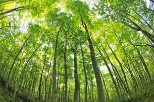 新緑のブナ林 奥大山の写真素材 [FYI01480876]