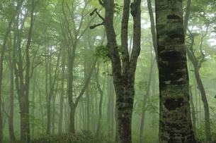 新緑のブナ林 奥大山の写真素材 [FYI01480887]