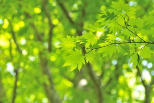 新緑のカエデ 奥大山の写真素材 [FYI01480933]