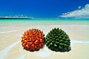 砂浜にアダンの実とタコノキの実の写真素材 [FYI01481062]