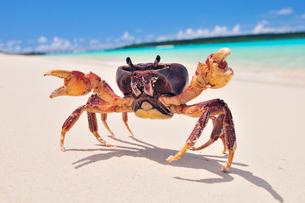 砂浜にカニの写真素材 [FYI01481156]