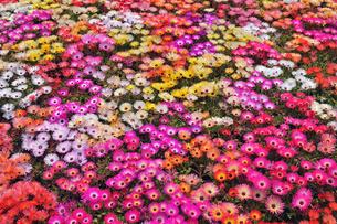 とっとり花回廊 デイジーの写真素材 [FYI01481230]