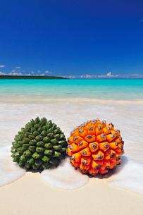 砂浜にアダンの実とタコノキの実の写真素材 [FYI01481233]
