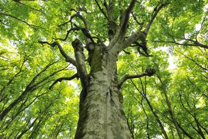 新緑のブナの大樹 奥大山の写真素材 [FYI01481262]