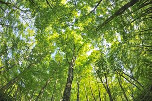 新緑のブナ林 奥大山の写真素材 [FYI01481318]