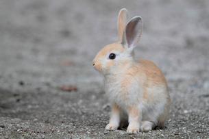警戒する子ウサギの写真素材 [FYI01481436]