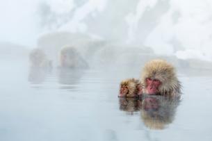 親子で温泉に入るニホンザルの写真素材 [FYI01481459]