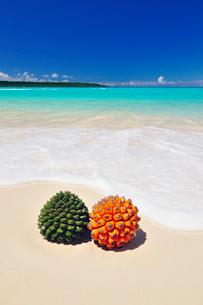 砂浜にアダンの実とタコノキの実の写真素材 [FYI01481470]