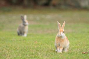 芝生の上であたりを警戒するウサギの写真素材 [FYI01481547]