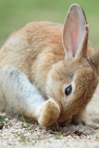毛繕いをするウサギの写真素材 [FYI01481587]