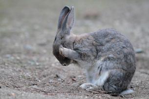 毛づくろいをするウサギの写真素材 [FYI01481689]