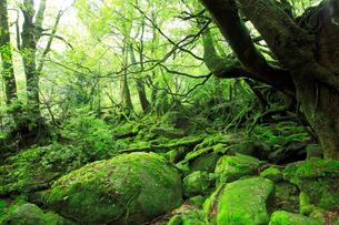 苔に覆われたもののけの森の写真素材 [FYI01481734]