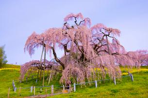三春の滝桜の写真素材 [FYI01481988]