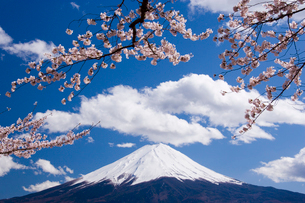 桜と富士山の写真素材 [FYI01482075]