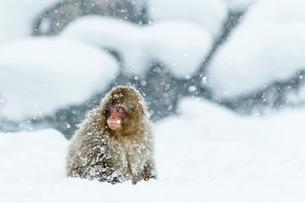 吹雪の中の子ザルの写真素材 [FYI01482528]