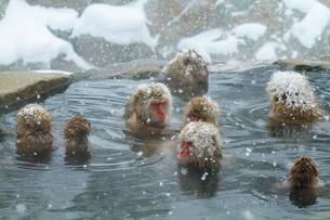 雪降りの中温泉に入るニホンザルの写真素材 [FYI01484391]