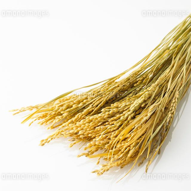 白い背景に置かれた稲の写真素材 [FYI01484578]