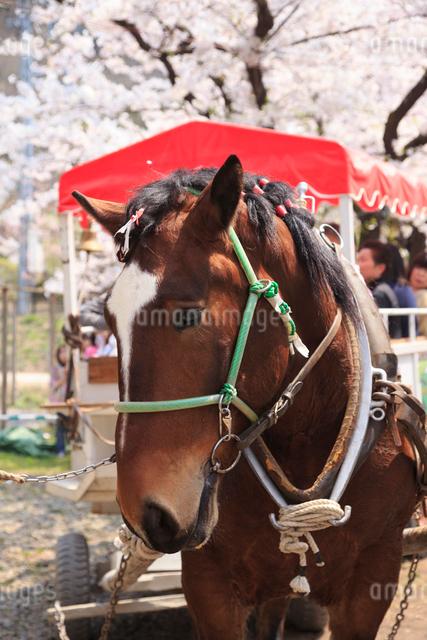北上展勝地の観光馬車の写真素材 [FYI01485081]