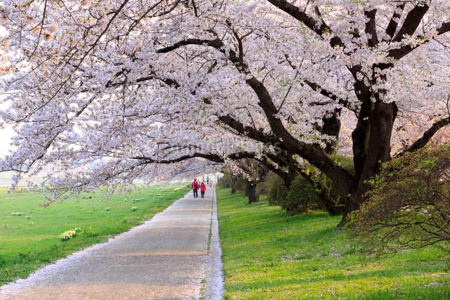 北上展勝地の桜並木の写真素材 [FYI01485266]