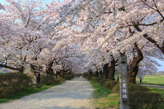 北上展勝地の桜並木の写真素材 [FYI01485345]