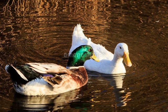 水面を泳ぐアヒルと青首アヒル(合鴨)の写真素材 [FYI01485445]