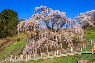 滝桜の写真素材 [FYI01485515]