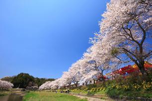 夏井千本桜の写真素材 [FYI01485545]