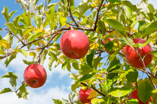 赤く実ったりんごの写真素材 [FYI01485763]