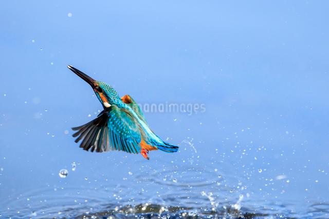 カワセミの飛翔の写真素材 [FYI01485894]