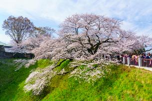 牛ヶ淵の桜の写真素材 [FYI01486479]