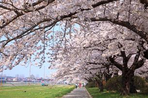 桜咲く北上展勝地の写真素材 [FYI01486682]