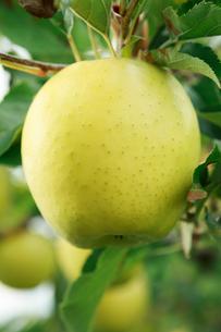 りんご 王林の写真素材 [FYI01486750]