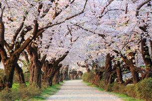 北上展勝地の桜並木の写真素材 [FYI01487118]