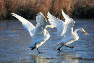 パンをくわえた白鳥を追いかけるの写真素材 [FYI01487127]