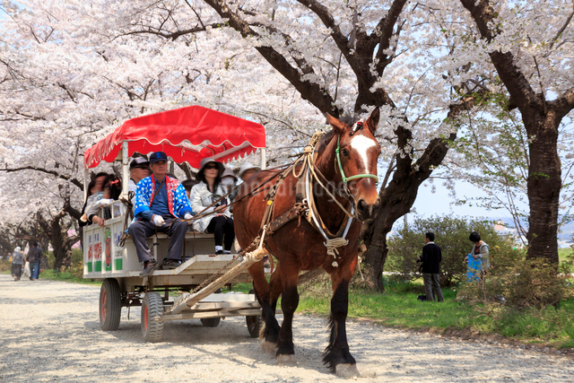 桜咲く北上展勝地と観光馬車の写真素材 [FYI01487234]