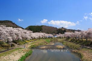 夏井千本桜の写真素材 [FYI01487388]