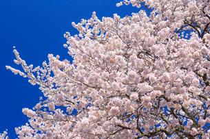 桜と青空の写真素材 [FYI01487408]