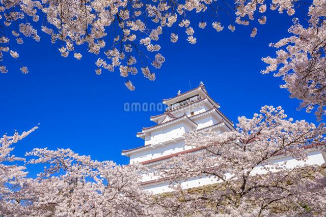 桜と鶴ヶ城の写真素材 [FYI01487572]