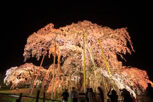 ライトアップされた滝桜の写真素材 [FYI01487696]
